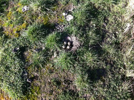 Spur Winged Plover Nest.