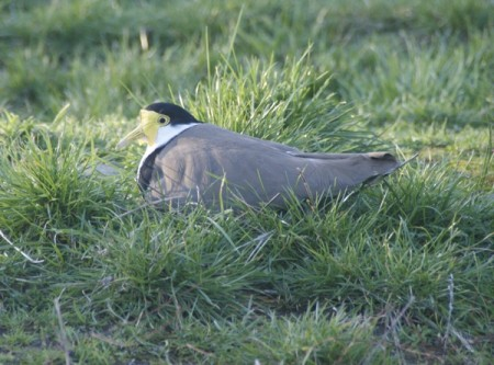 Plover calmly sitting on the nest, just outside the bedroom window.