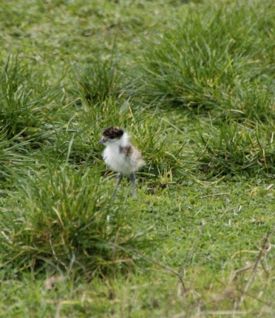 Ah, look. A litle plover before it becomes a nightmare.