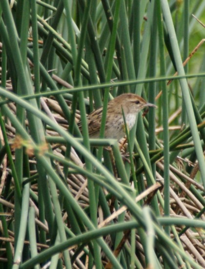 Little Grassbird - Laratinga Wetland